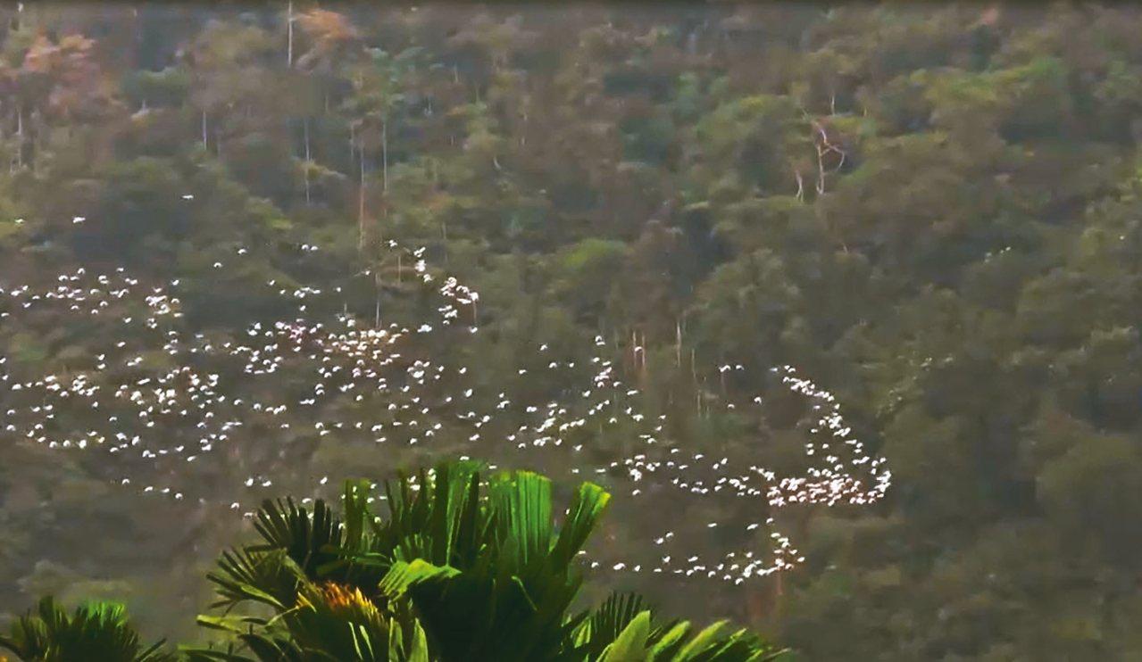 嘉義縣梅山鄉太興村特有的「萬鷺朝鳳」遷徙秀,十分壯觀,讓鳥友及遊客驚嘆。 記者魯...