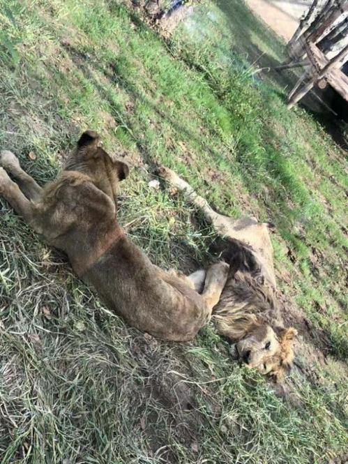日前有網民發現遼陽動物園內有兩隻皮包骨獅子,質疑園方虐待動物,引起大批網民關注。...