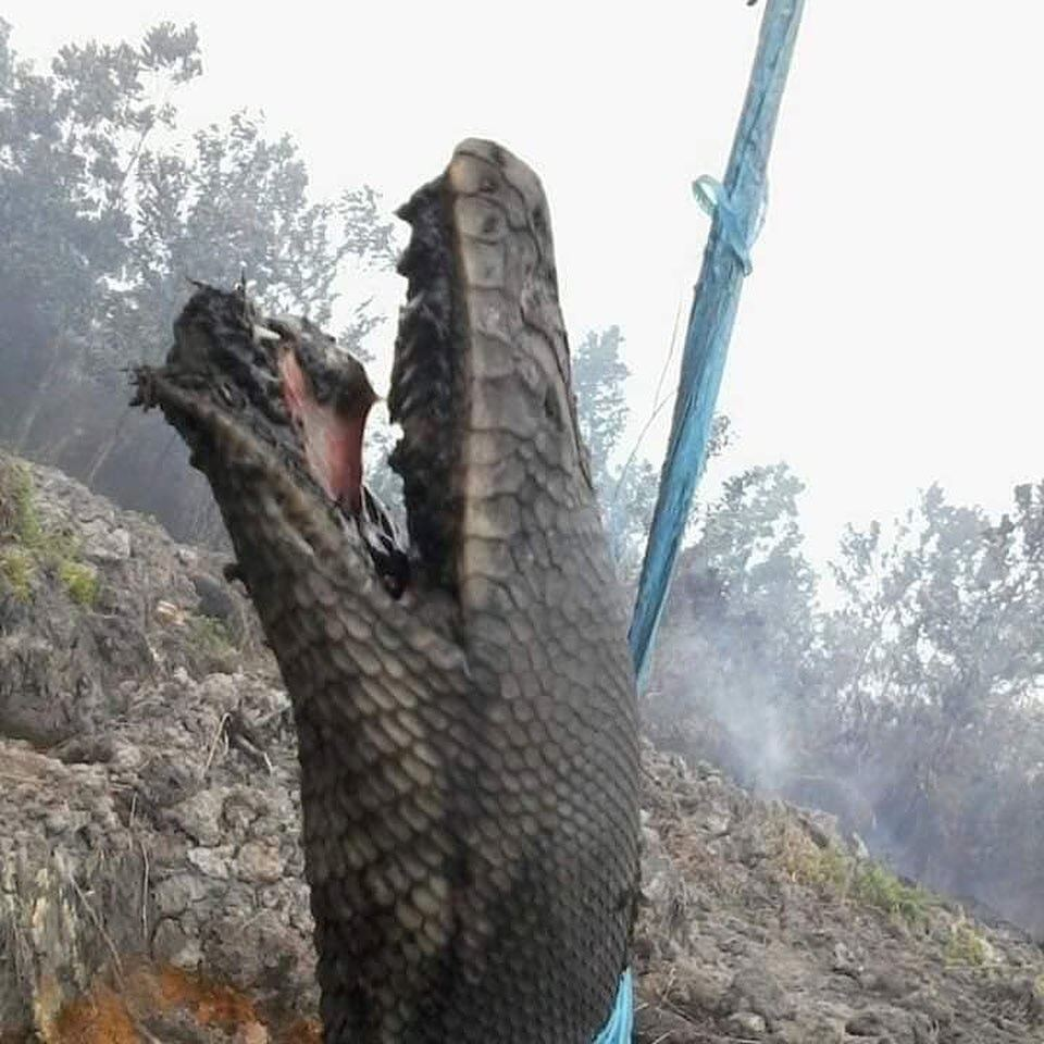 巨蟒死前張開牠的血盆大口,顯然經過一番痛苦掙扎。圖擷自Garda Satwa F...