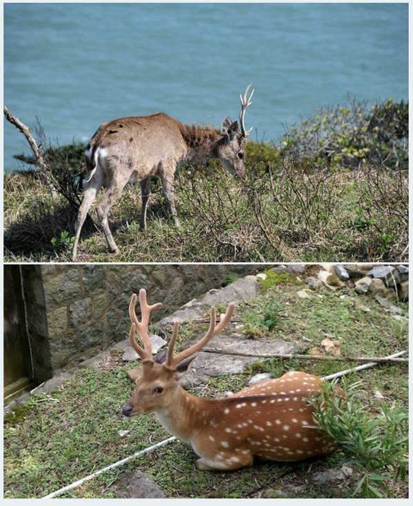 梅花鹿冬(上)、夏(下)對比。 圖片來源/matsu
