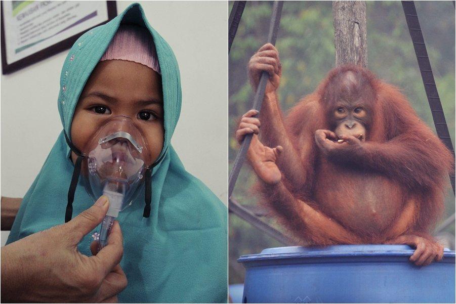 除了人類受空汙影響,印尼熱帶雨林周遭的動物,更是首當其衝。NGO「婆羅洲猩猩生存...