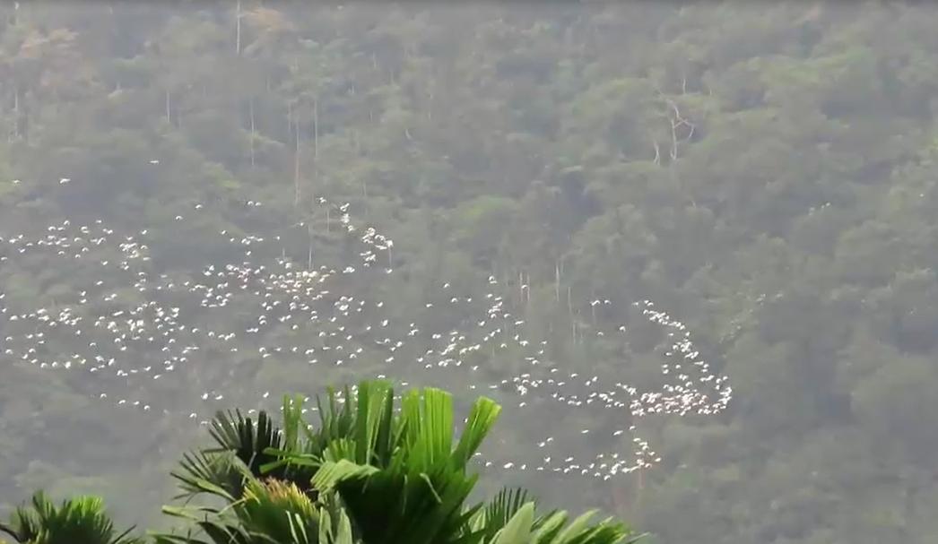 嘉義縣梅山鄉太興村特有的「萬鷺朝鳳」遷徙秀,十分壯觀,讓鳥友及遊客驚嘆。記者魯永...