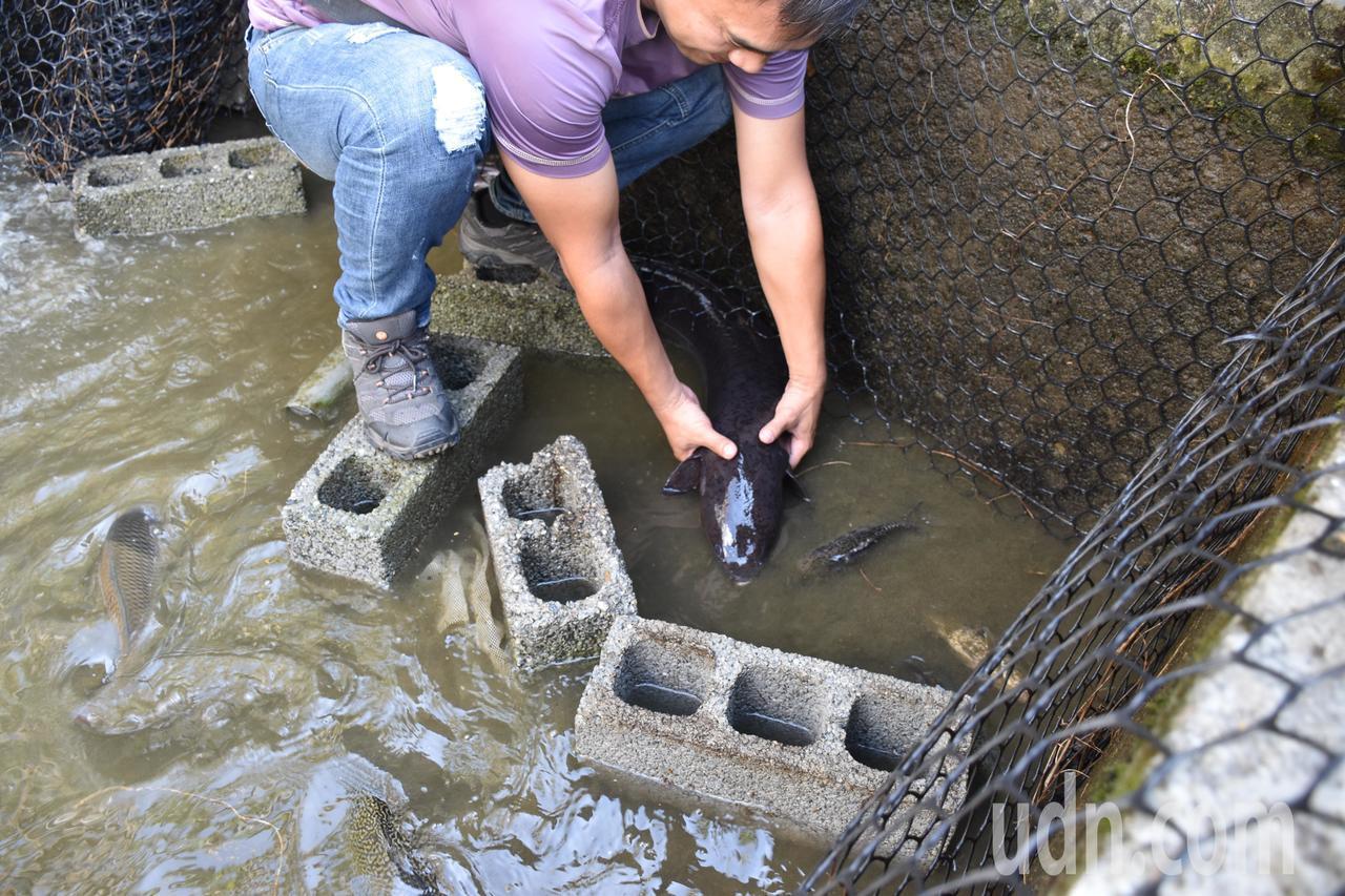 有民眾想試著抓起25台斤鱸鰻,卻因為太重、表皮太濕滑無法抓起。記者王思慧/攝影