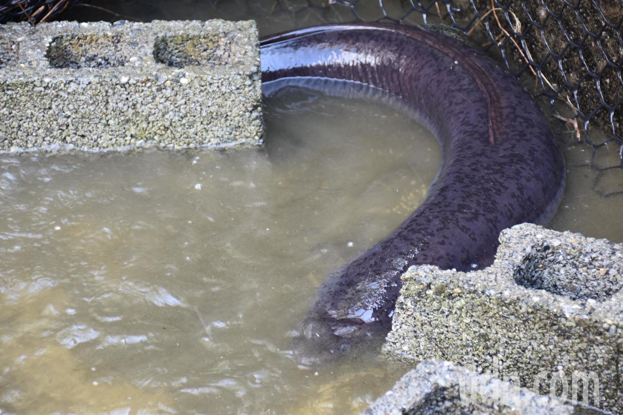 花蓮黃姓民眾捕抓到25台斤鱸鰻,打算賣給有緣人。記者王思慧/攝影