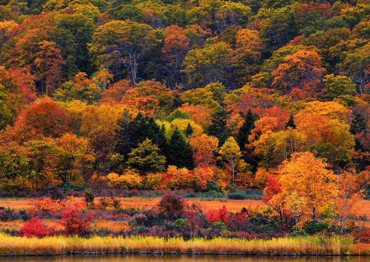 八幡平的楓葉,自9月下旬左右就開始轉紅。圖/JR東日本提供