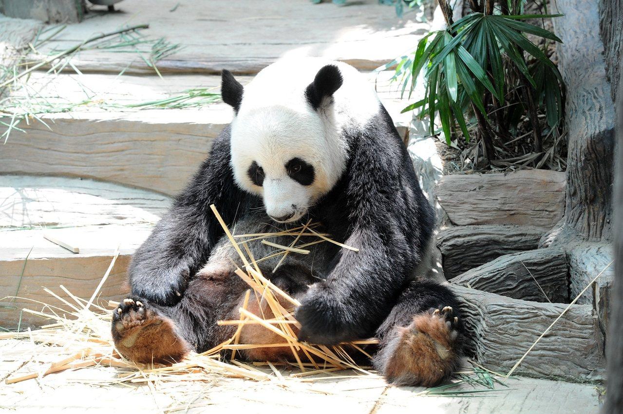 旅泰大熊貓創創死亡保險公司將賠付1500萬泰銖 (新華社資料照片)