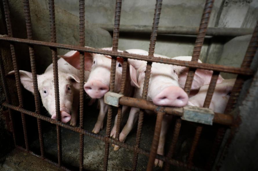 南韓京畿道金浦地區一家養豬農戶今早傳出疑似非洲豬瘟感染,正在檢驗研判是否為確診案...