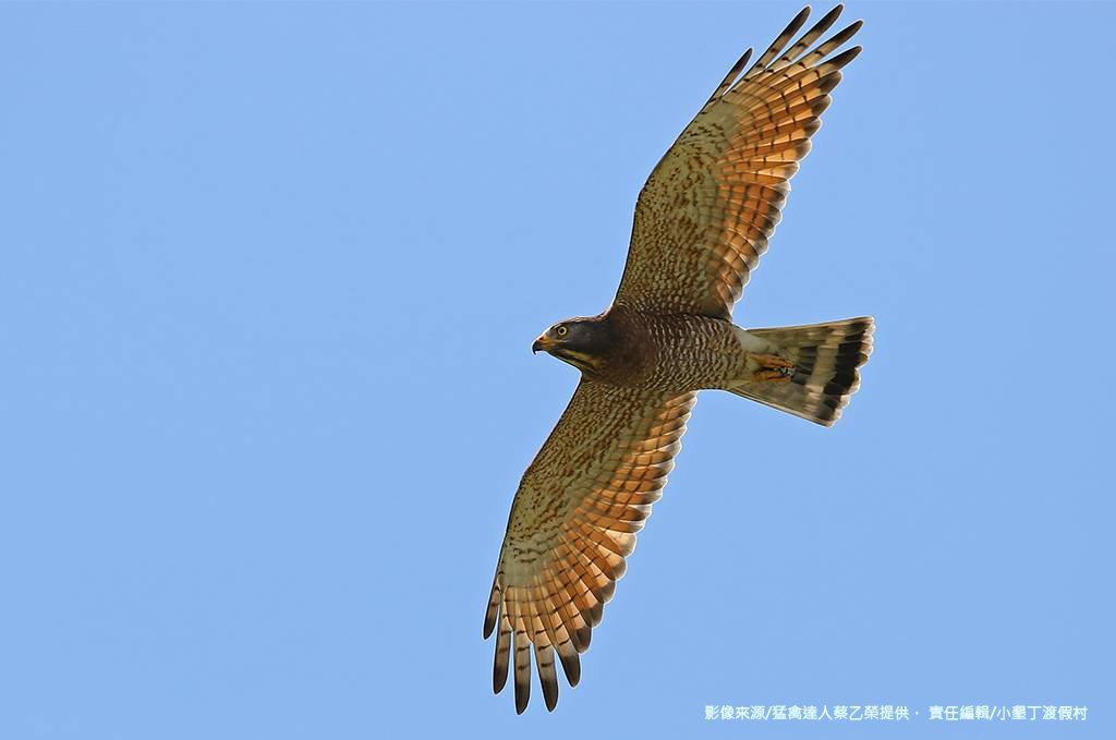 灰面鵟鷹來了! 猛禽達人蔡乙榮提供