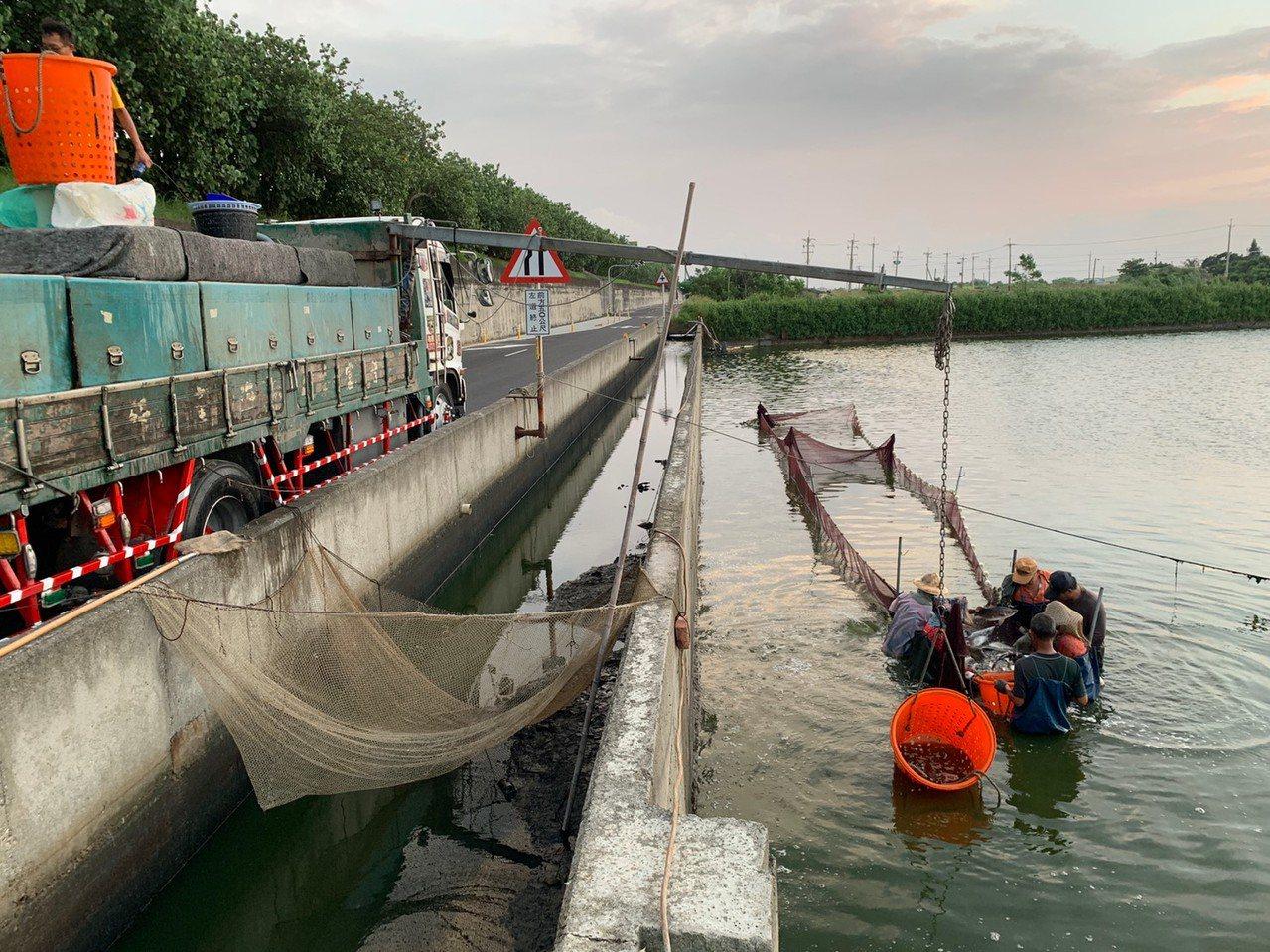 嘉縣是全國最大鱸魚產區,漁業署6日啟動產銷調節,補助收購1260公噸,圖為漁民收...