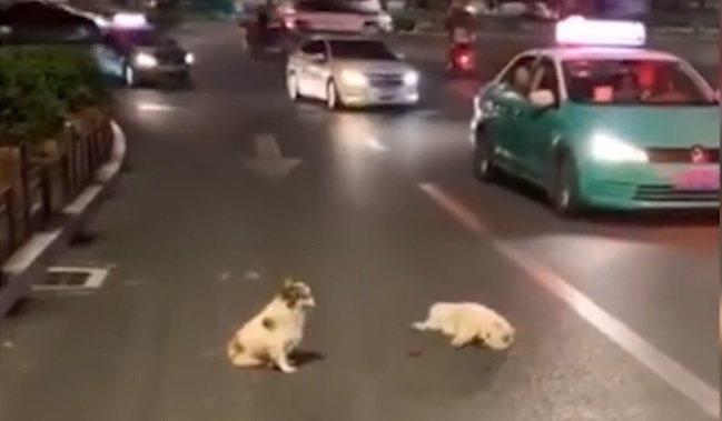貴州省凱里市日前有隻小白狗被車撞倒,另一隻小狗不顧車來車往,在旁守護多時。(截圖...