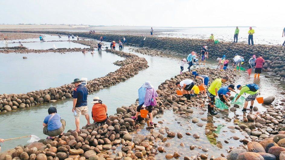 苗栗縣後龍鎮推出「石滬文化節」,吸引親子、民眾在滬內體驗傳統的捕撈樂趣。 圖/聯...