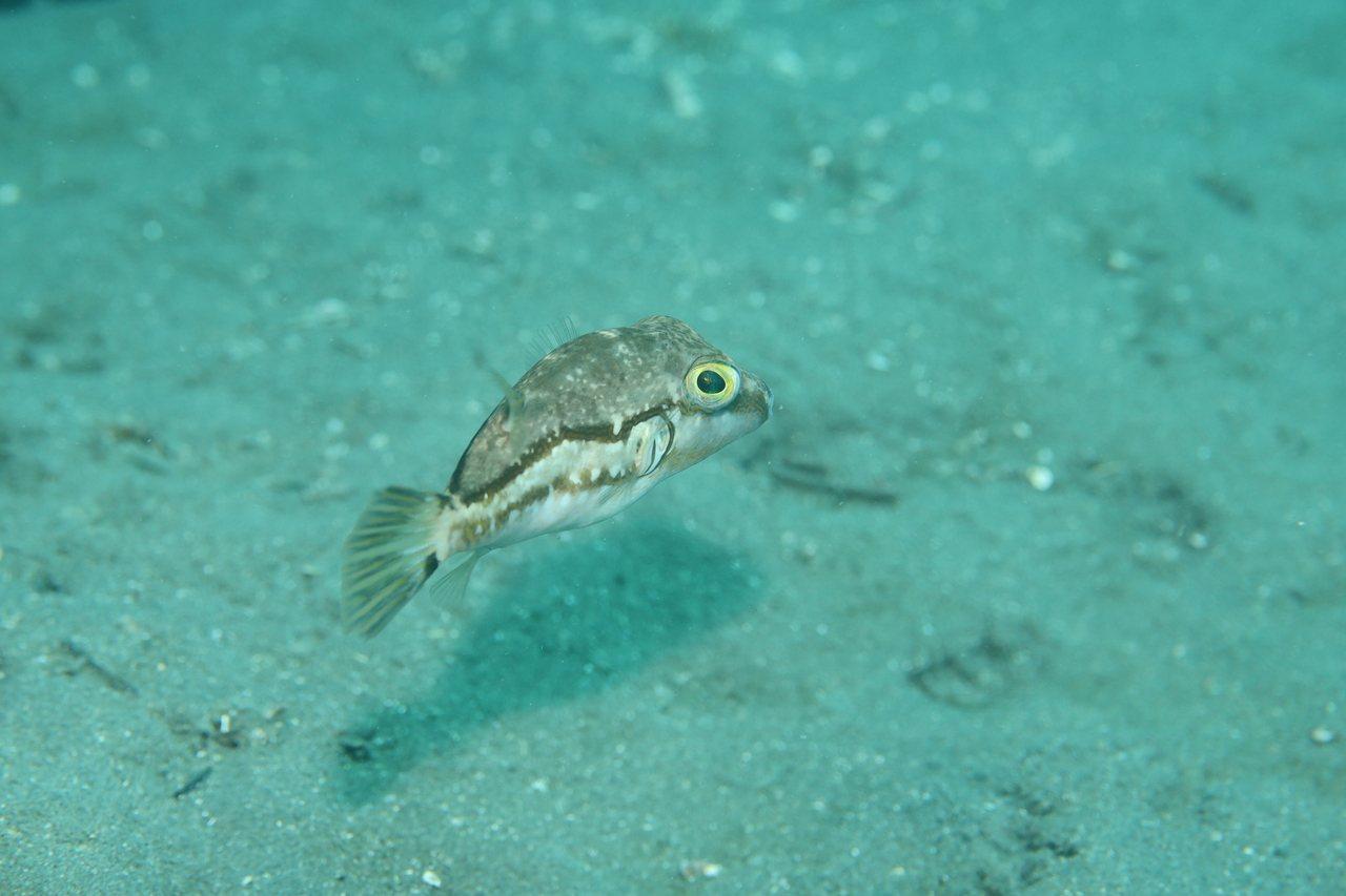 水紋尖鼻魨。 文‧攝影/布朗尼飛魚