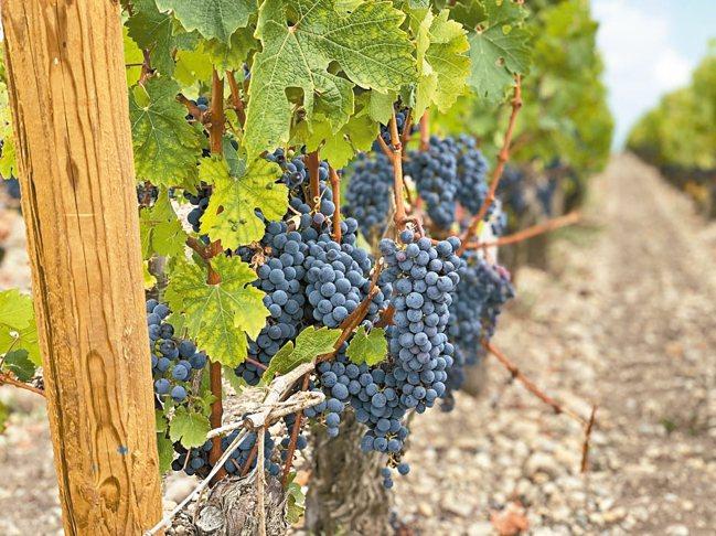 「紅酒馬」開跑適逢葡萄採收前夕,是觀賞葡萄園的好時機。 圖/陳志光、游慧君