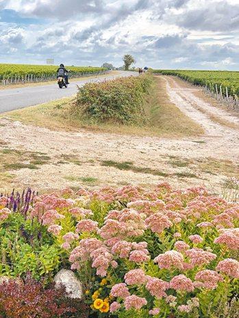 除了壯闊的葡萄園景致,沿途還有漂亮的花草,令人陶醉。 圖/陳志光、游慧君