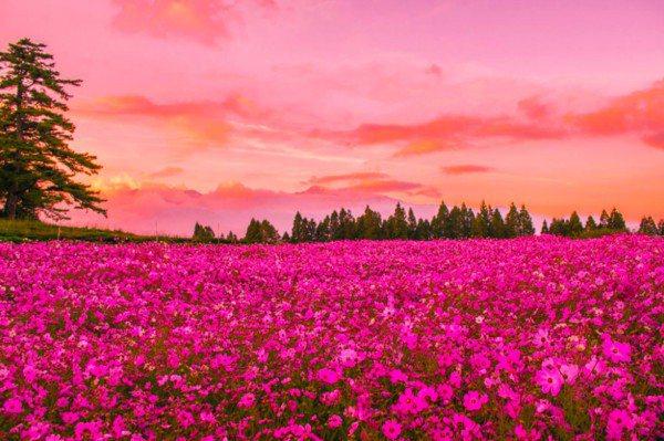福壽山農場的波斯菊每年9月左右綻放,盛開期間可看到美麗的粉紅夕陽及粉紅花海,形成...