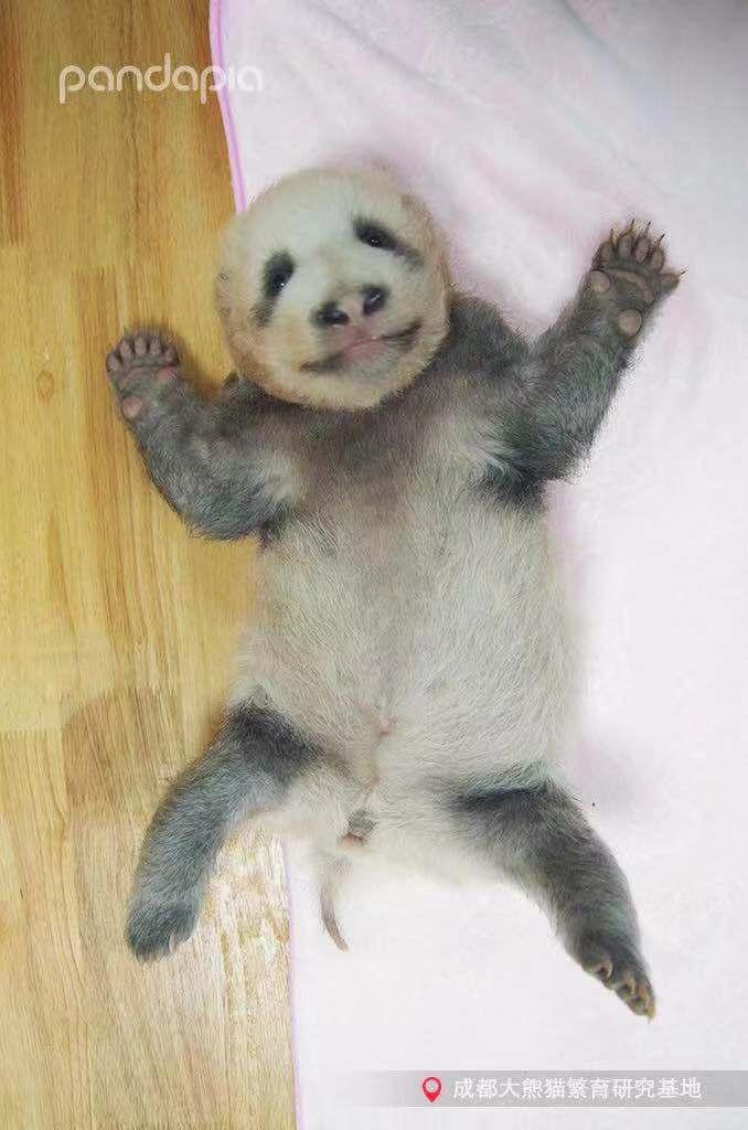 成都大熊貓繁育研究基地今年新誕生的大貓熊寶寶「績笑」,其灰色的毛髮自帶喜感,許多...