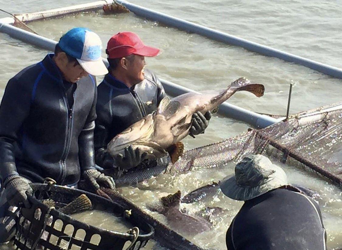 高雄市今年漁產品外銷量雖成長,但高單價的石斑等品項,因大陸產量已增加,相對壓縮到...