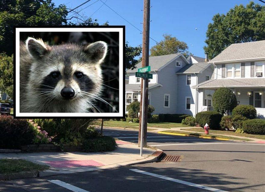 新澤西州梅伍德市接受狂犬病檢測的浣熊,據報曾襲擊兩個人、追逐兒童,並曾撲向警察。...