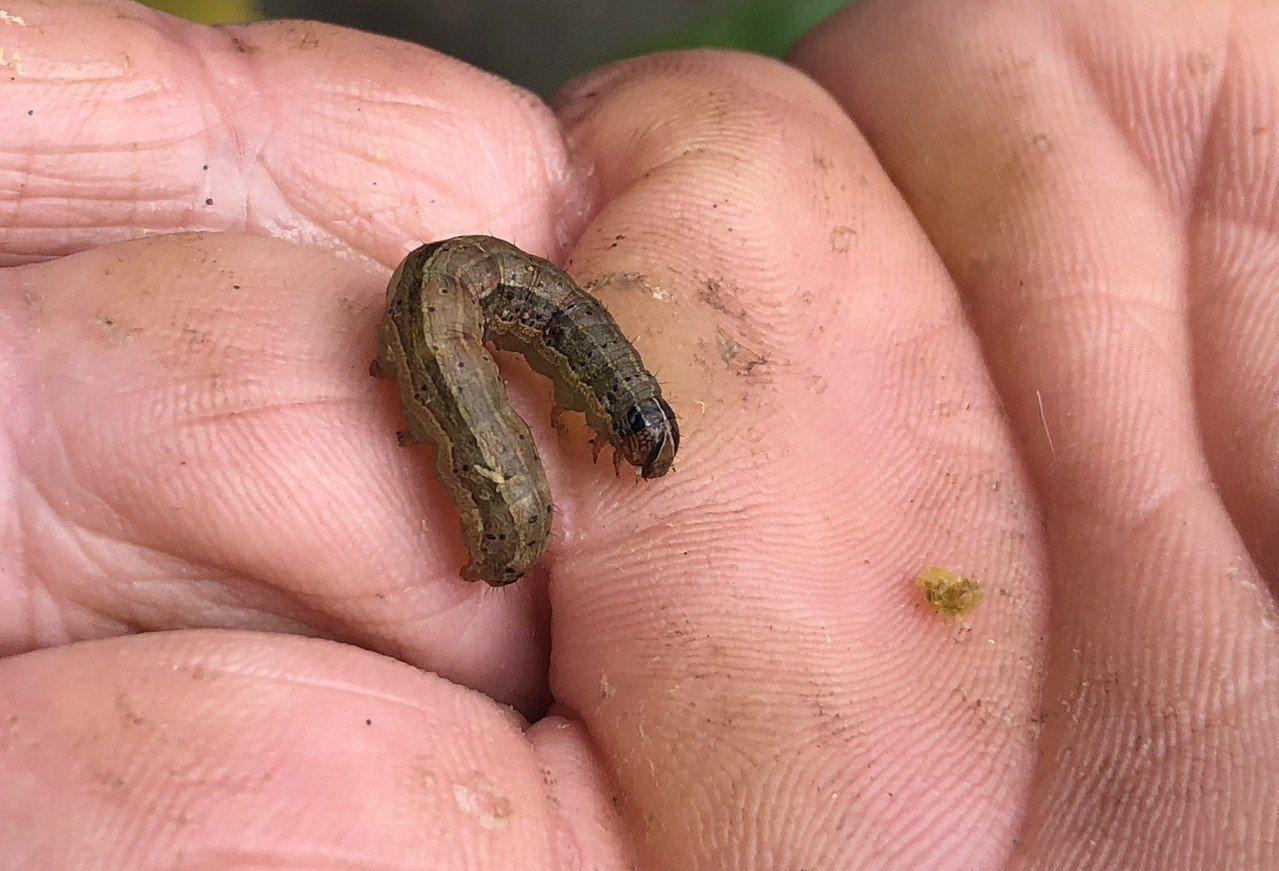 圖為今年6月間在苗栗首見秋行軍蟲幼蟲。聯合報系資料照片
