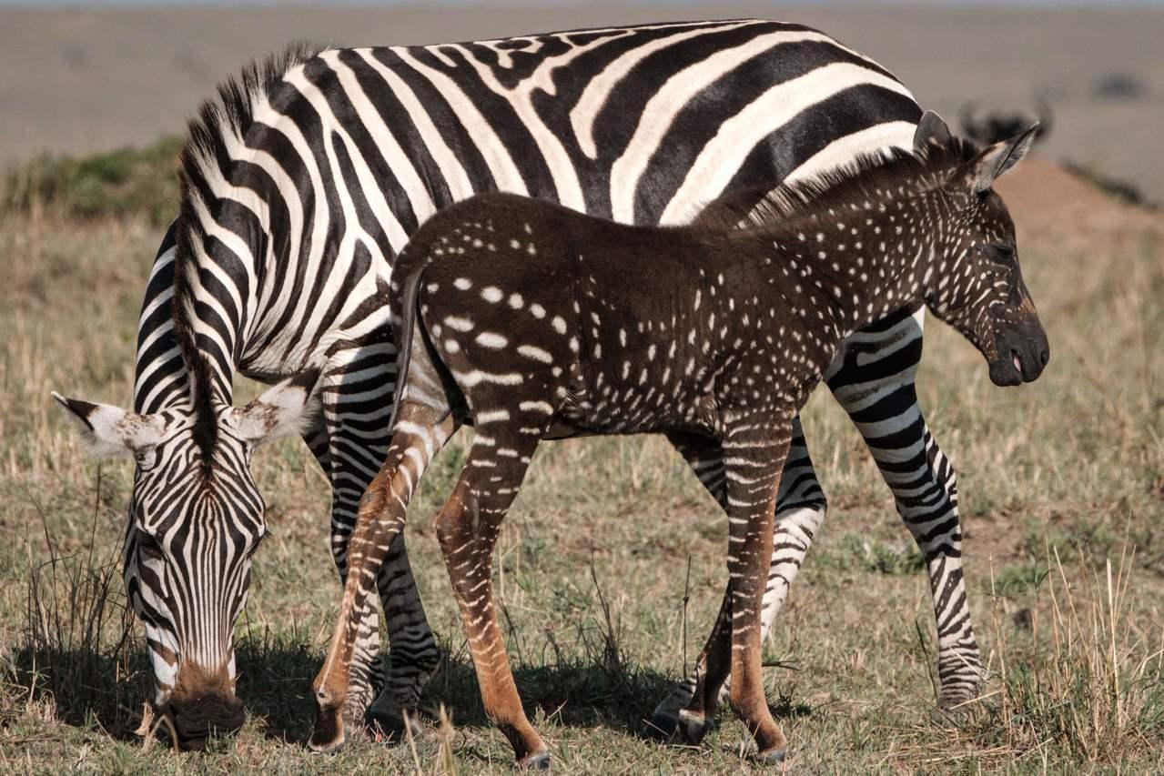肯亞的國家保䕶區內出現一匹點狀紋路的小斑馬(右)。法新社