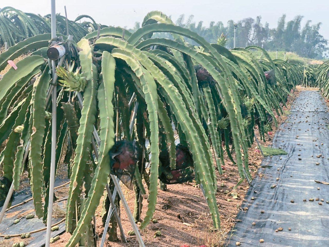 名間鄉是國內最大茶葉產區,常和鳳梨、火龍果等間作,容易出現空飄農藥問題。 記者江...