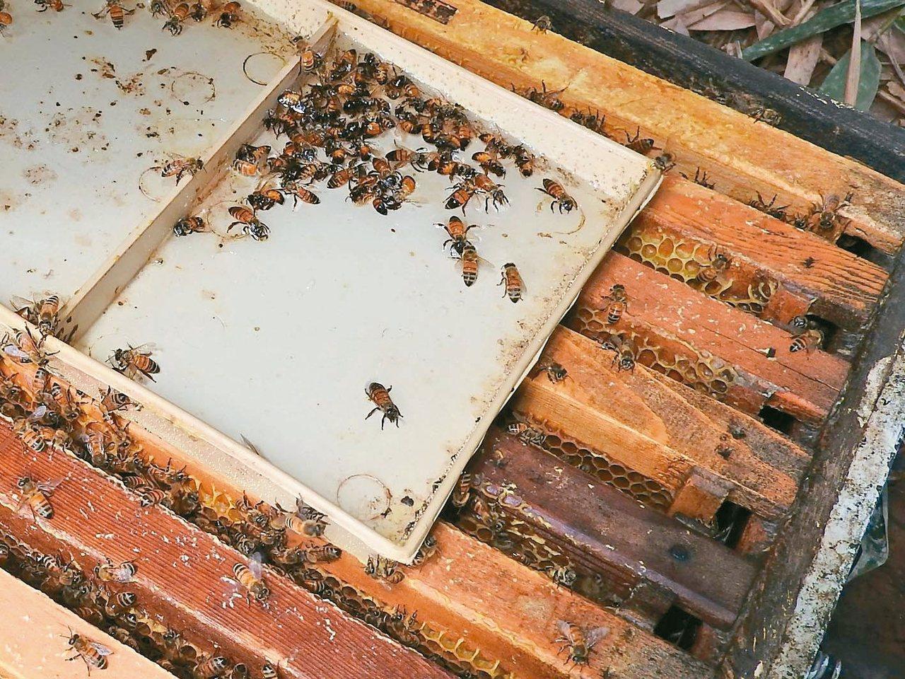 農民更加強用藥,害蜜蜂被抄家滅族,南投埔里養蜂場中毒的蜜蜂飛回蜂箱掙扎,難逃一死...