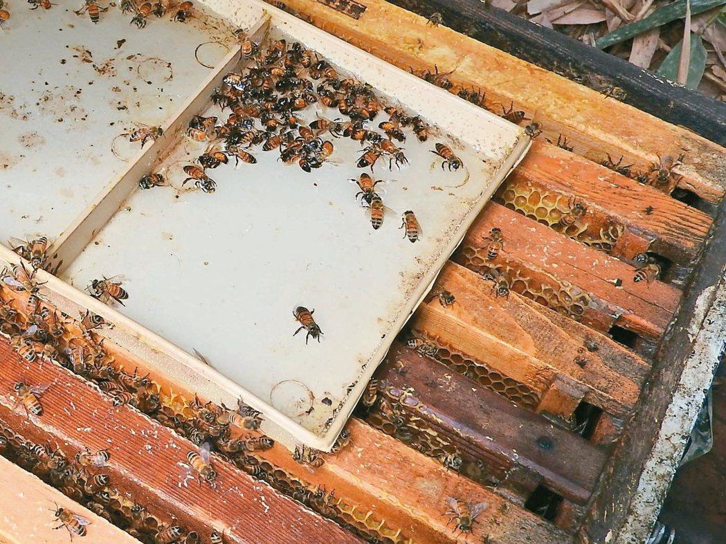 南投埔里養蜂場中毒的蜜蜂飛回蜂箱掙扎,難逃一死。 圖/讀者提供