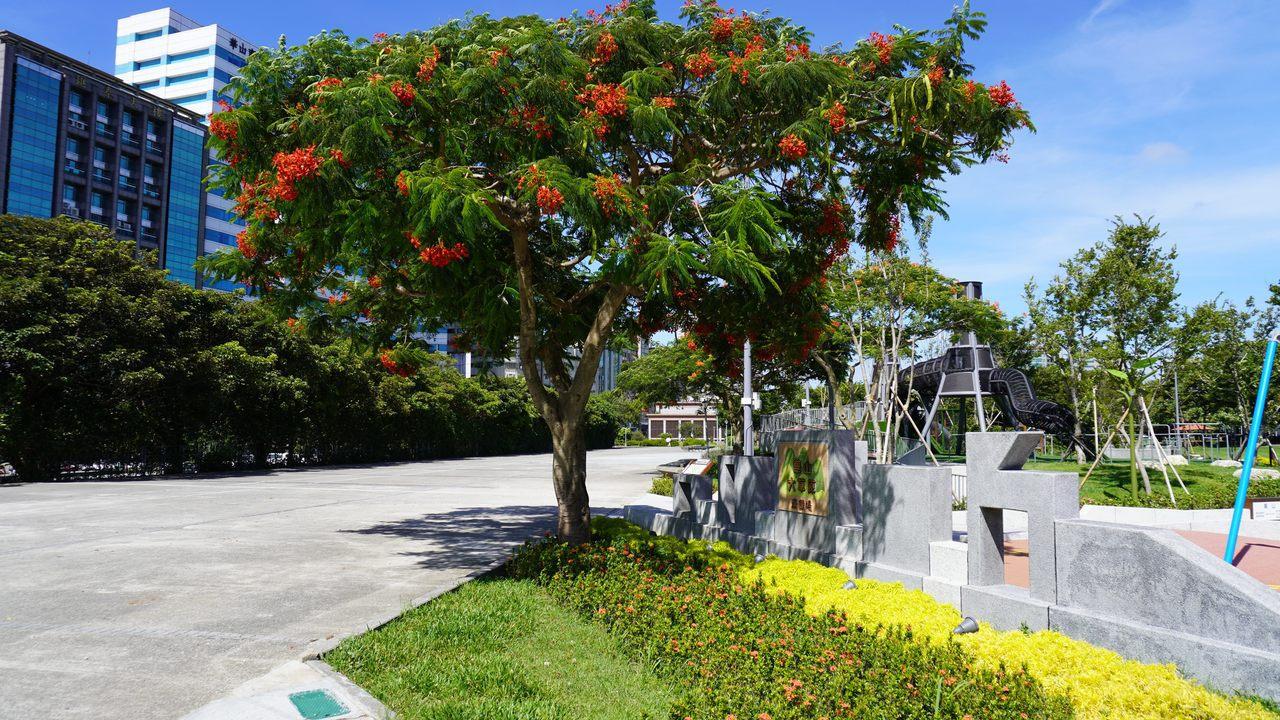 台北市工務局表示,在中秋時分,鳳凰木把握著夏末的豔陽,依舊豔麗的綻放。圖/台北市...