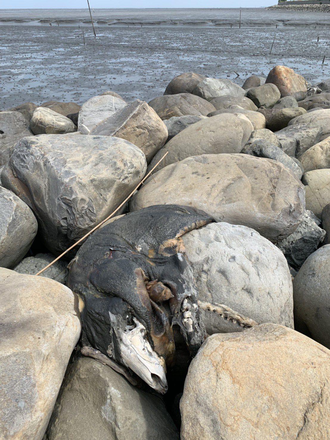 彰化舉行淨灘活動,學生在大城鄉西港村魚寮溪口發現豬隻屍體。圖/立委洪宗熠提供