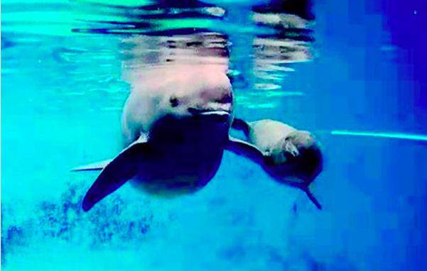 剛滿100天的人工二代江豚寶寶正在媽媽的陪伴下游弋。(澎湃新聞網)