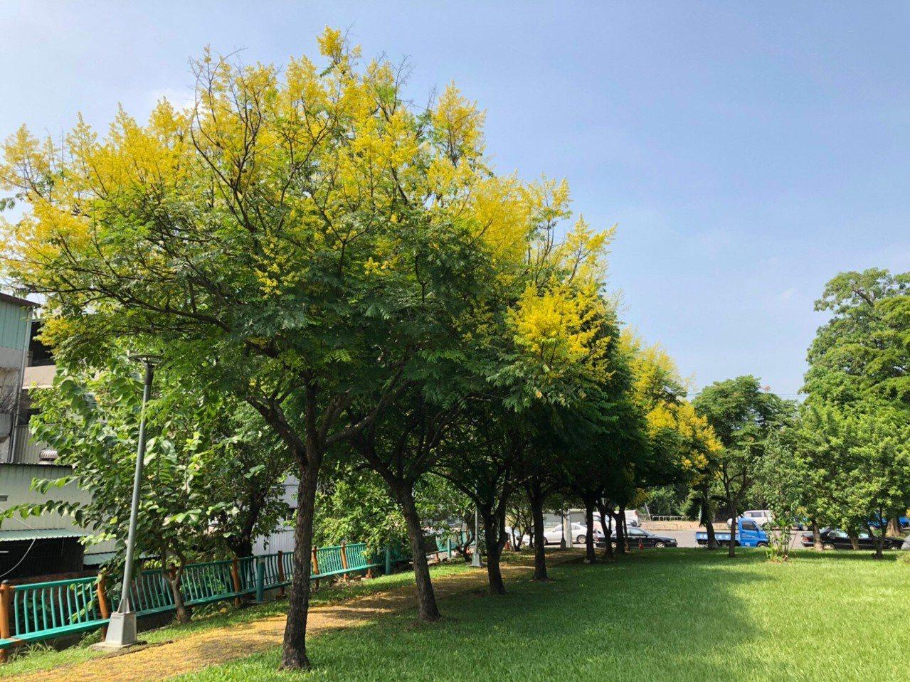 大智公園台灣欒樹開滿樹梢。圖/建設局提供