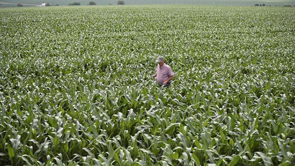 美國愛荷華州大西洋鎮玉米地。圖/取自新華社