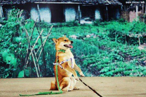 「找一隻日本柴犬演越南犬,這誰能接受?」描寫農民貧困悲劇的越南國民小說《Lao ...