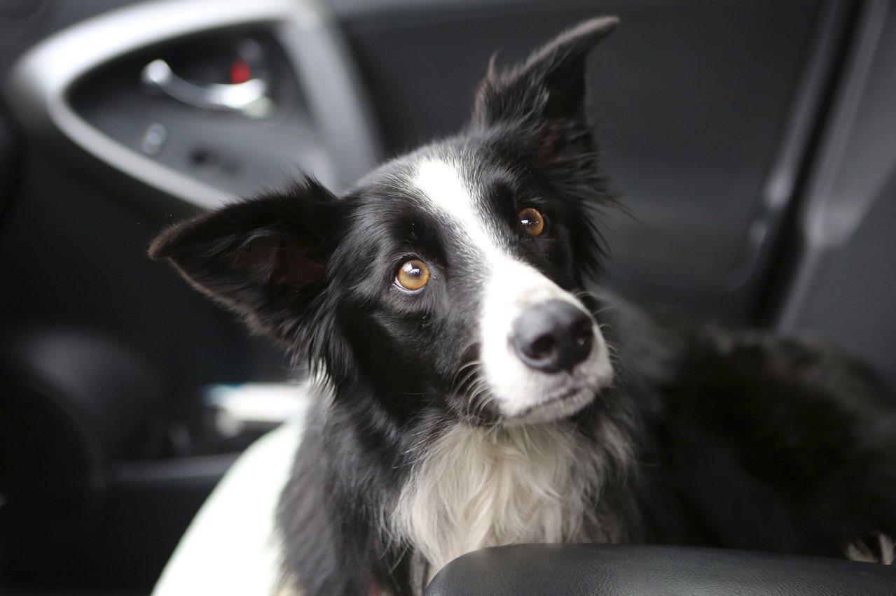 七歲的柯利犬「凱蒂」走失57天後,重回主人懷抱。美聯社
