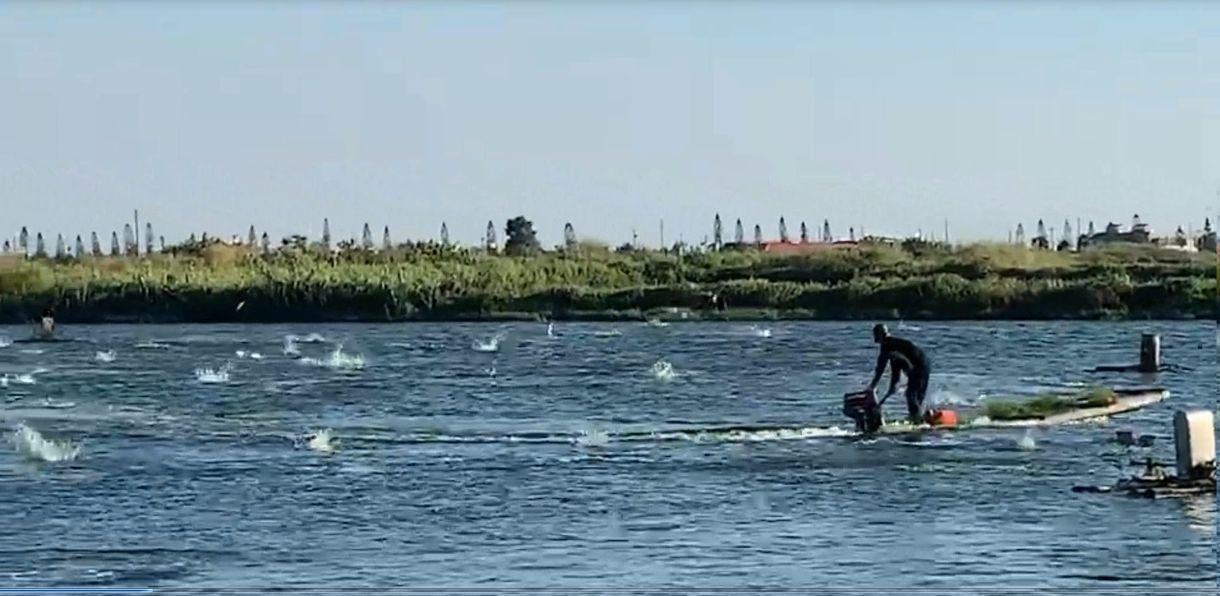 養殖漁民遵循老漁民傳統捕撈方法,駕膠筏在魚塭快速繞駛,魚受驚嚇瘋狂地跳躍,衝出水...