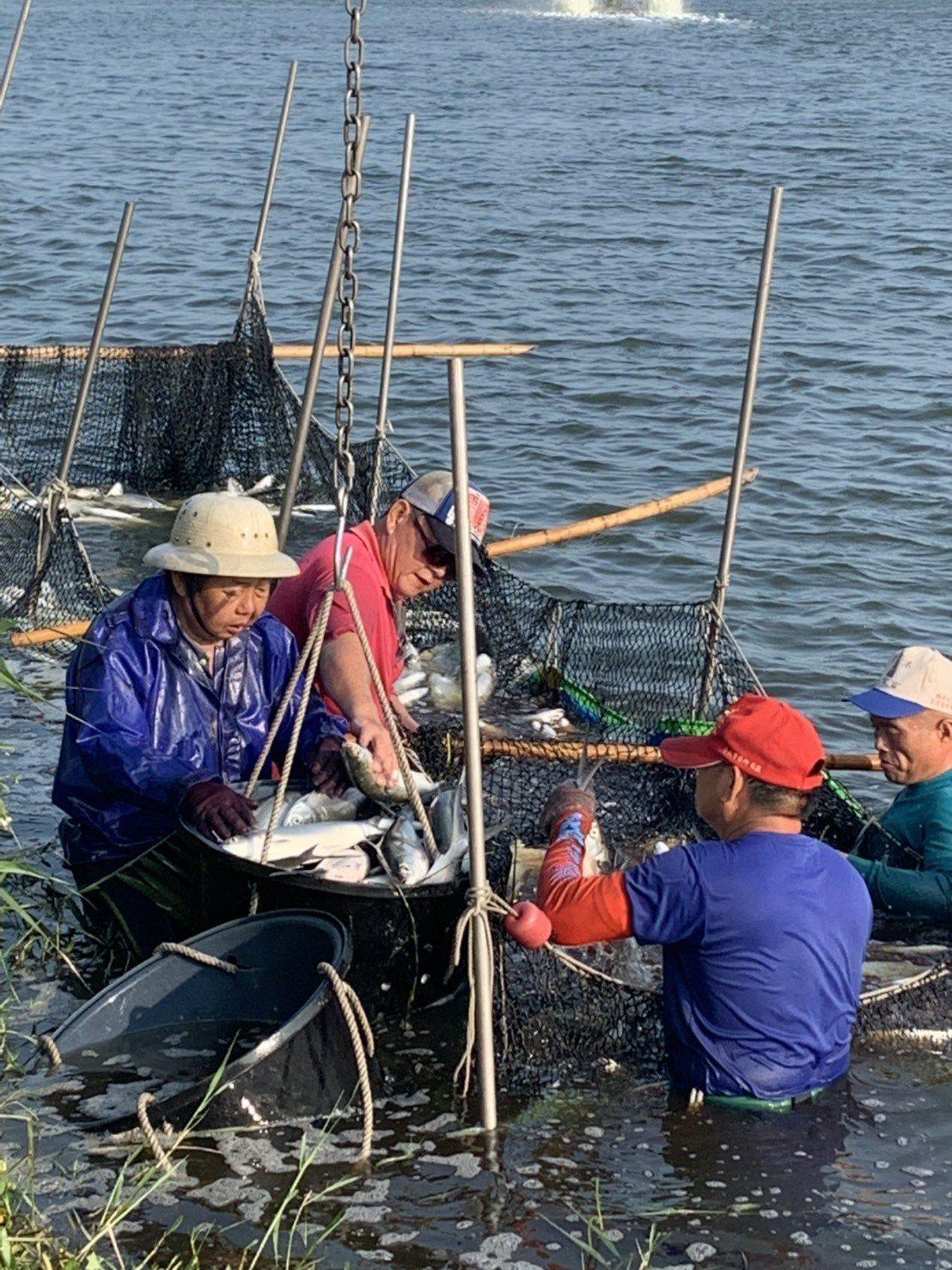 嘉義縣布袋鎮養殖漁民忙著捕撈虱目魚。圖/蔡鳳祺提供