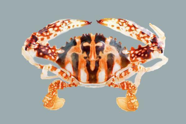花蟹肉質結實且量多。 圖片提供/Fooding台灣好食材