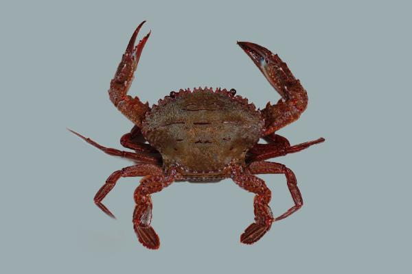 石蟳在堅硬甲殼下,藏著絲絲分明、鮮美滑嫩、Q彈豐富的蟹肉! 圖片提供/Foodi...