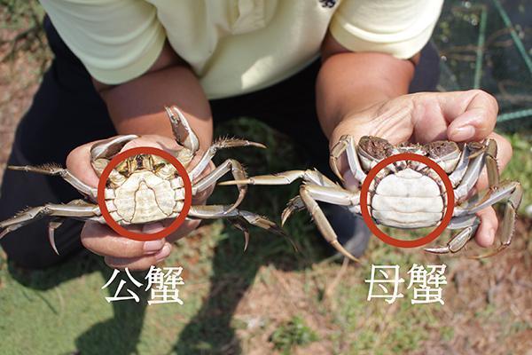 公蟹的「腹甲」呈尖長形、母蟹則呈半圓形。 圖片提供/Fooding台灣好食材