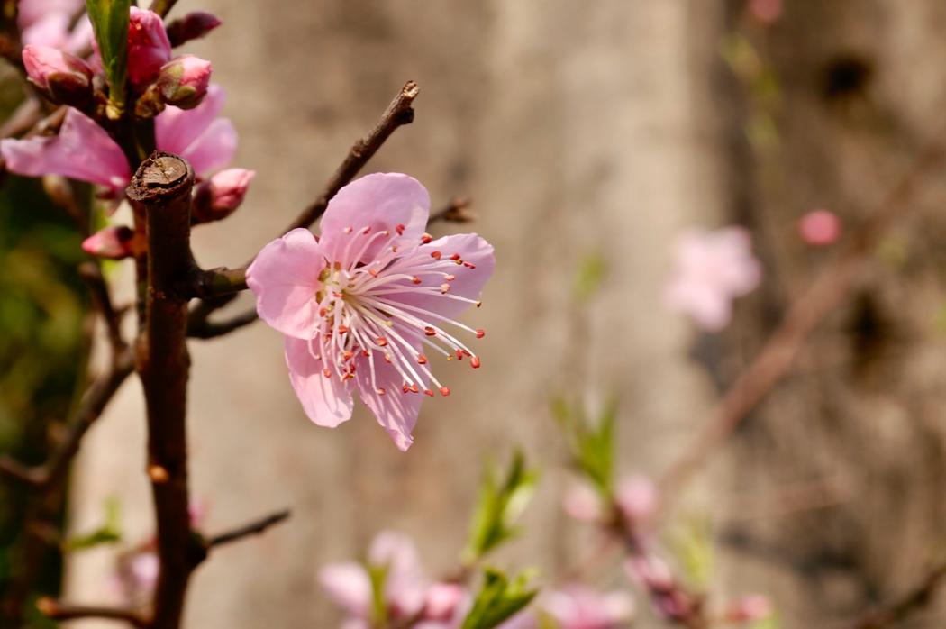 三月初桃花初綻