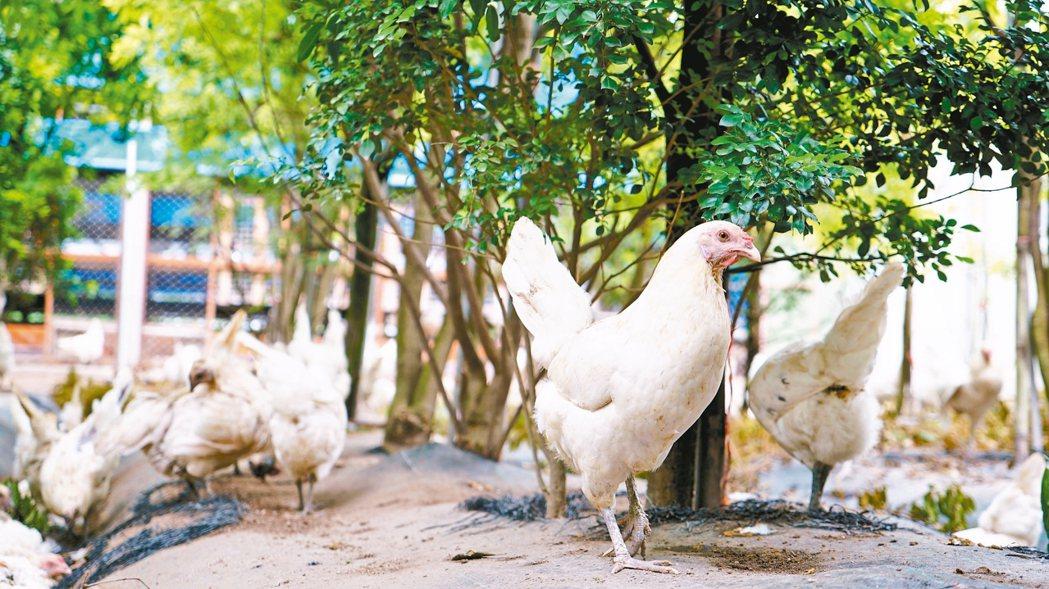自由覓食每日午後,彰化芳苑的御品園蛋行會開門讓蛋雞到放牧區走走,找東西吃。 ...