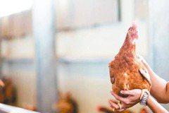 廢格子籠 讓雞自由 產健康蛋