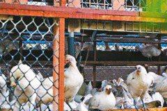 搶救餐桌上的動物倫理 用消費投動物一票
