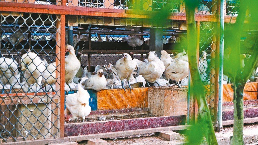 有別狹窄的格子籠飼養,動物福利讓蛋雞有機會自由展翅、做砂浴,甚至到戶外覓食。 記...