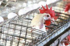 「多付點錢 少點壓榨」 支持動福 蛋農消費者雙贏