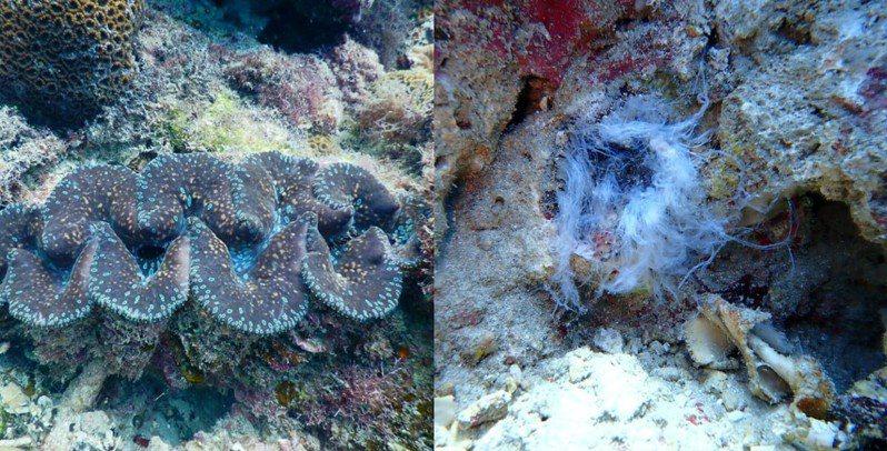 志工日前在屏東小琉球美人洞浮潛區發現2顆被譽為「海中玫瑰」的硨磲貝(五爪貝)遭人盜採,透過地方臉書社群沈痛呼籲。圖/取自臉書小琉球聯盟