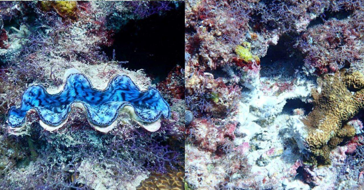 小琉球美麗五爪貝遭盜採 志工心痛「請不要破壞」