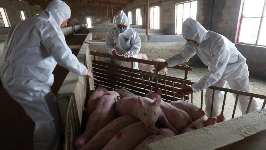 大陸專家估計,中國大陸爆發非洲豬瘟1年多來,造成的直接損失高達1兆元人民幣。(香...