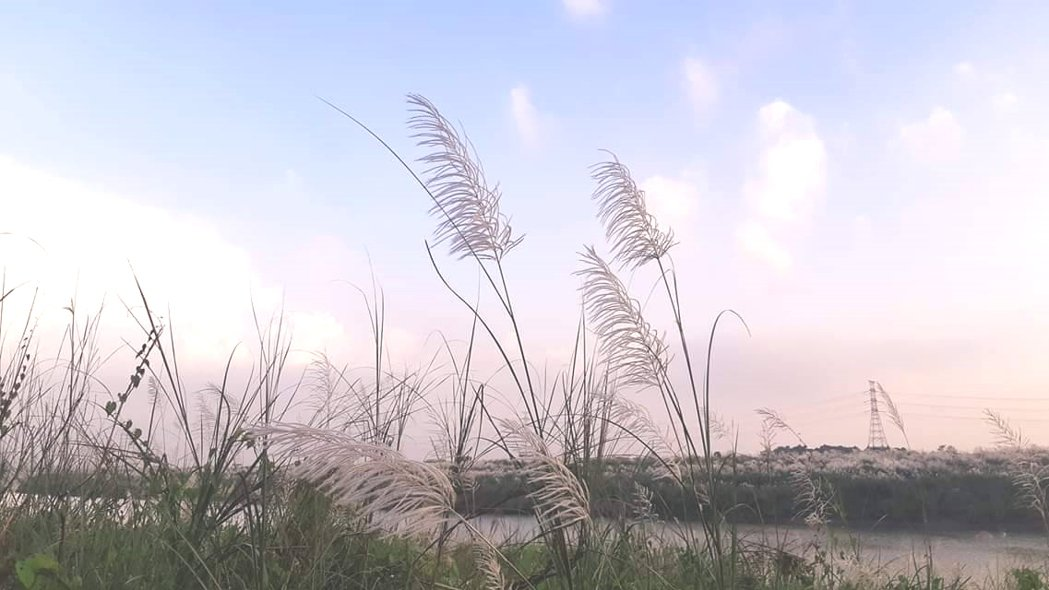 台南市大內區曾文溪畔甜根子草隨風搖曳美景,令人流連不已。記者謝進盛/攝影