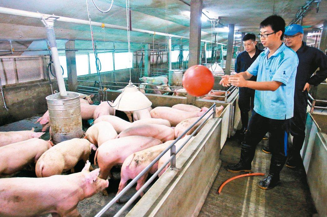 用球當玩具,可以分散豬隻對彼此的注意力,減少打鬥的機會。 記者鐘聖雄/攝影
